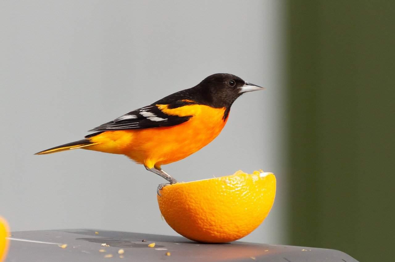 best oriole bird feeders